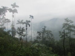 Colombia has some of the highest palm trees in the world