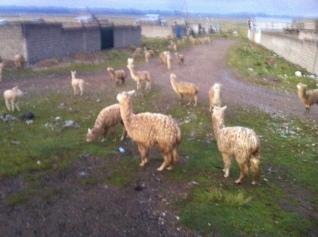 Llama's everywhere!