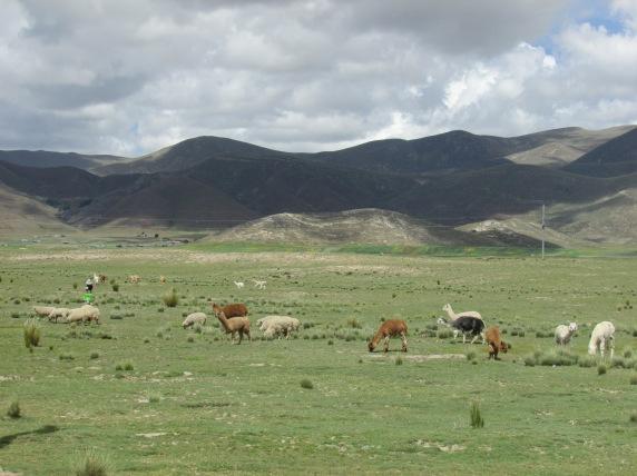 Llama legends