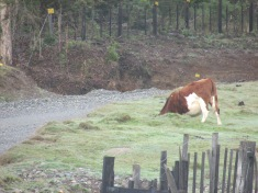 When I first rode up I thought this cow had his head stuck!
